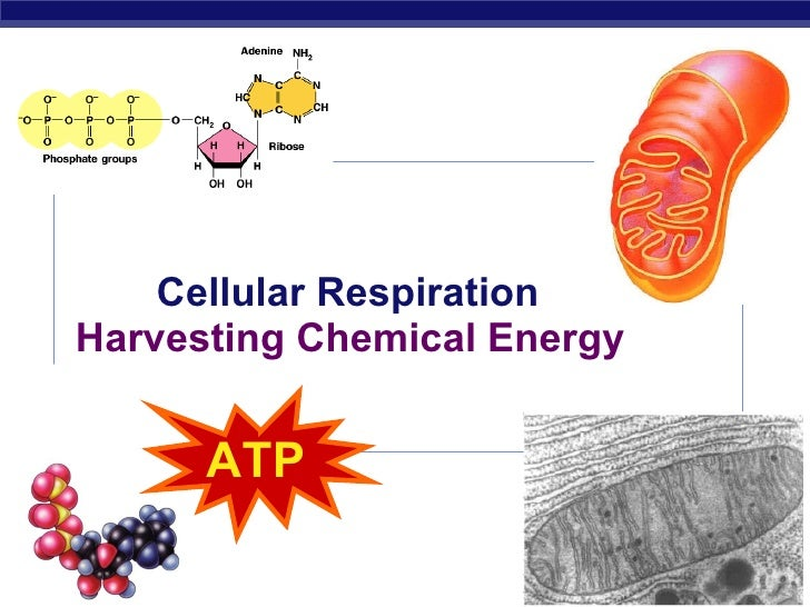 Cellular Respiration Harvesting Chemical Energy 2007-2008 ATP