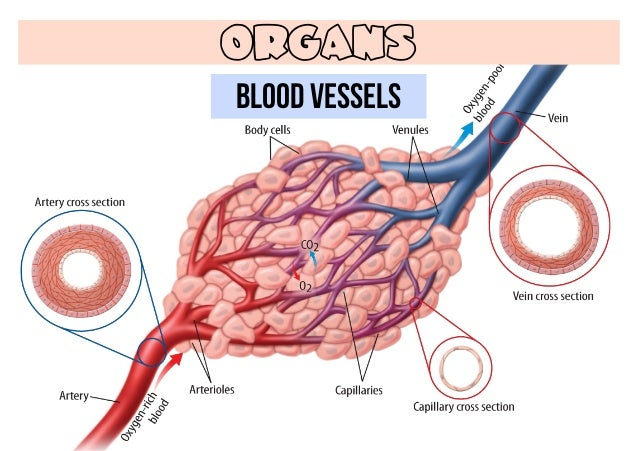 cardiovascular system blood vessels Heart and blood vessel disease — also called heart disease — includes numerous problems, many of which are related to a process called atherosclerosis atherosclerosis is a condition that.