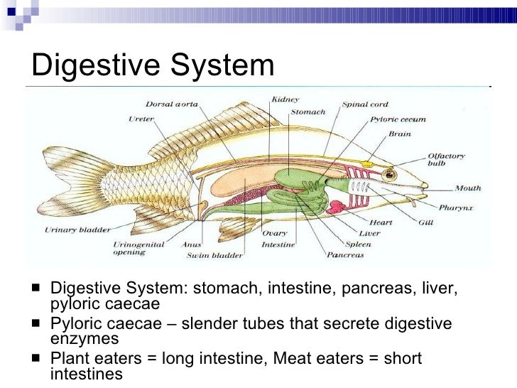 Salmon Digestive System Diagram - Block And Schematic Diagrams •
