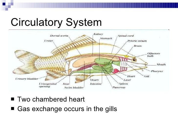 Bony Fish Nervous System Diagram - Online Schematic Diagram •