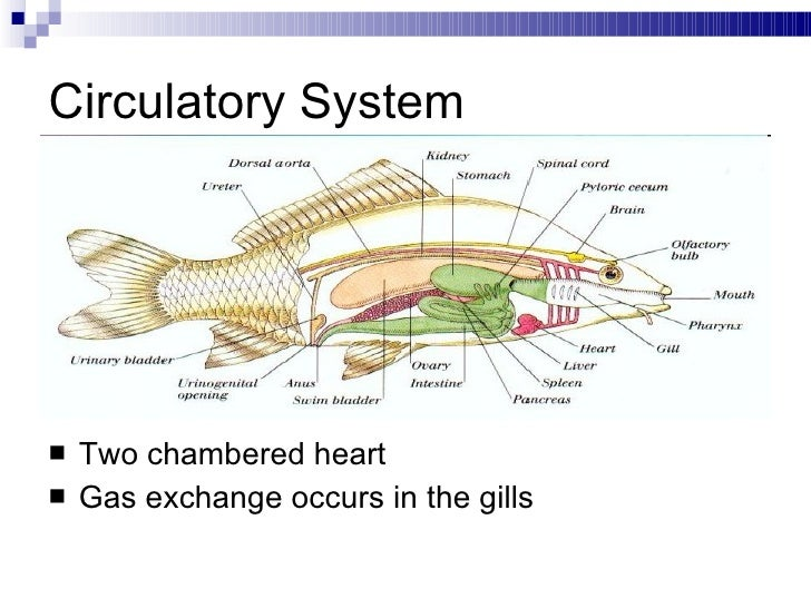 Bony fish circulatory system diagram wiring data 16 class osteichthyes notes rh slideshare net aves circulatory system bony fish biodidac circulatory system ccuart Images