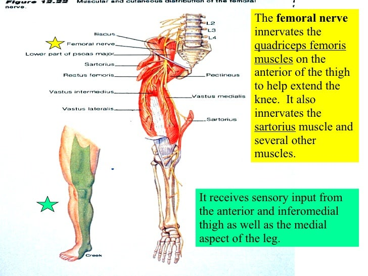 spinal nerve innervation chart - Mersn.proforum.co