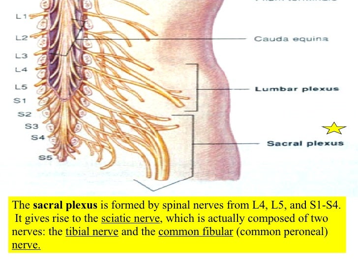 16 Spinal Cord And Spinal Nerves