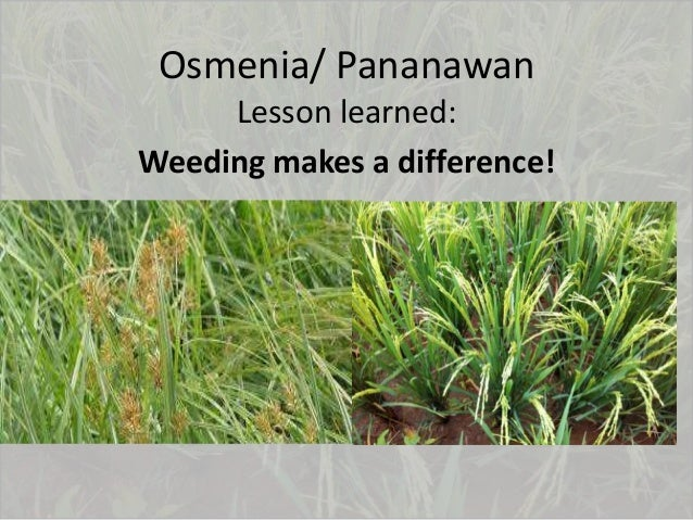 Osmenia/ Pananawan Lesson learned: Weeding makes a difference!