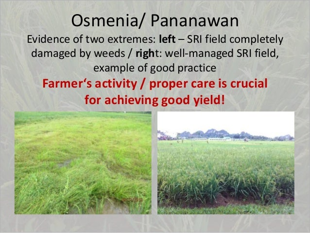 Osmenia/ Pananawan Evidence of two extremes: left – SRI field completely damaged by weeds / right: well-managed SRI field,...