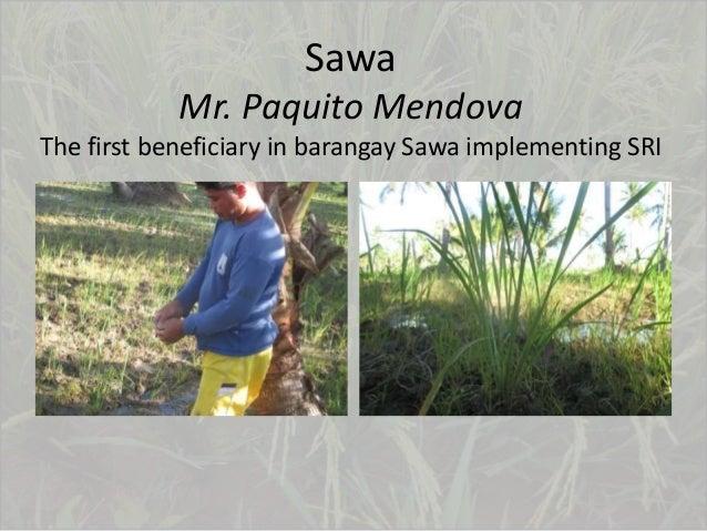 Sawa Mr. Paquito Mendova The first beneficiary in barangay Sawa implementing SRI