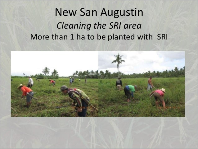 New San Augustin Cleaning the SRI area More than 1 ha to be planted with SRI