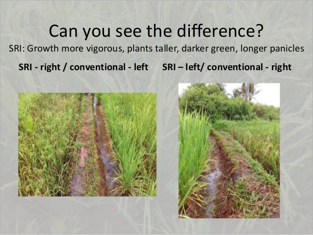 Can you see the difference? SRI: Growth more vigorous, plants taller, darker green, longer panicles SRI - right / conventi...
