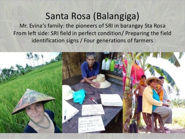 Santa Rosa (Balangiga) Mr. Evina's family: the pioneers of SRI in barangay Sta Rosa From left side: SRI field in perfect c...