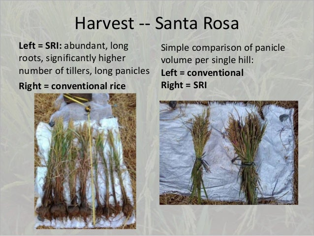 Harvest -- Santa Rosa Left = SRI: abundant, long roots, significantly higher number of tillers, long panicles Right = conv...