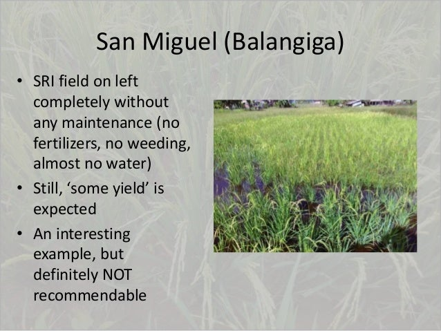 San Miguel (Balangiga) • SRI field on left completely without any maintenance (no fertilizers, no weeding, almost no water...
