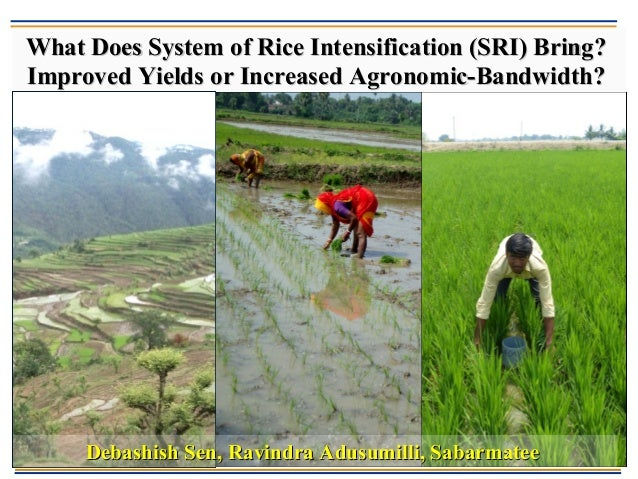 What Does System of Rice Intensification (SRI) Bring?What Does System of Rice Intensification (SRI) Bring? Improved Yields...