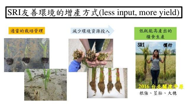根強、莖壯、大穗 減少環境資源投入 SRI友善環境的增產方式(less input, more yield) 適當的栽培管理 低耗能高產出的 糧食生產 2016 台北關渡平原 SRI 慣行