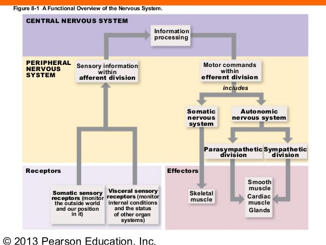 major divisions of the nervous system pdf