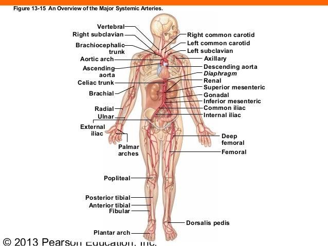 Diagram Of Major Systemic Arteries - DIY Enthusiasts Wiring Diagrams •