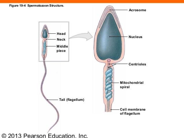 Spermatozoa Development - Embryology
