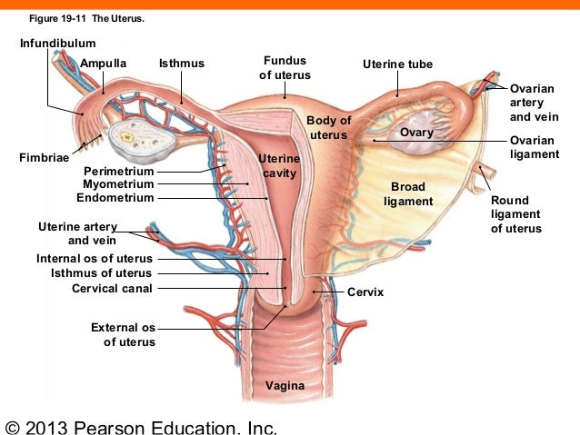 Ovarian Ligament Tenderness