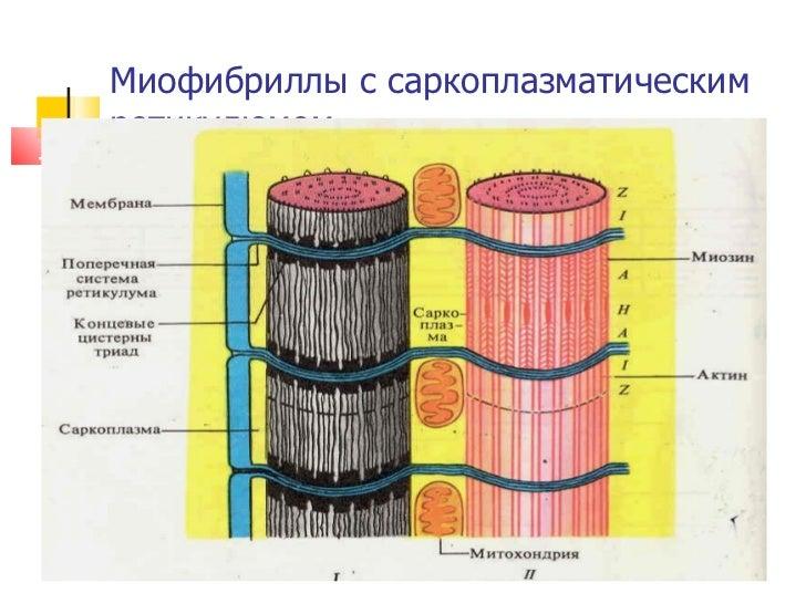 Миофибриллы с саркоплазматическим ретикулюмом