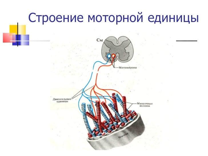 Строение моторной единицы