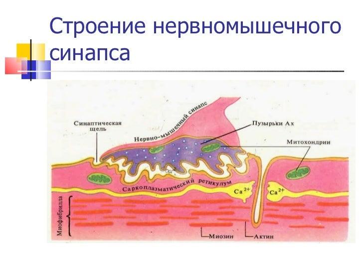 Строение нервномышечного синапса