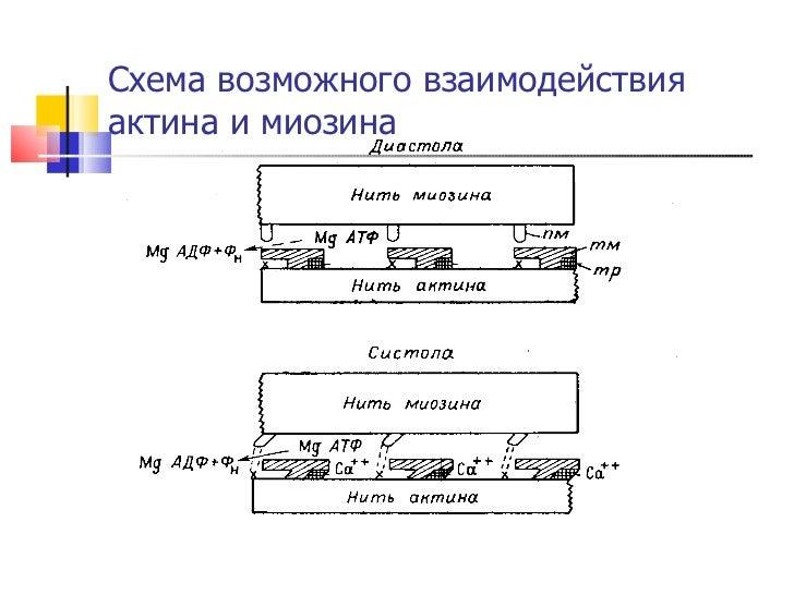 Схема возможного взаимодействия актина и миозина