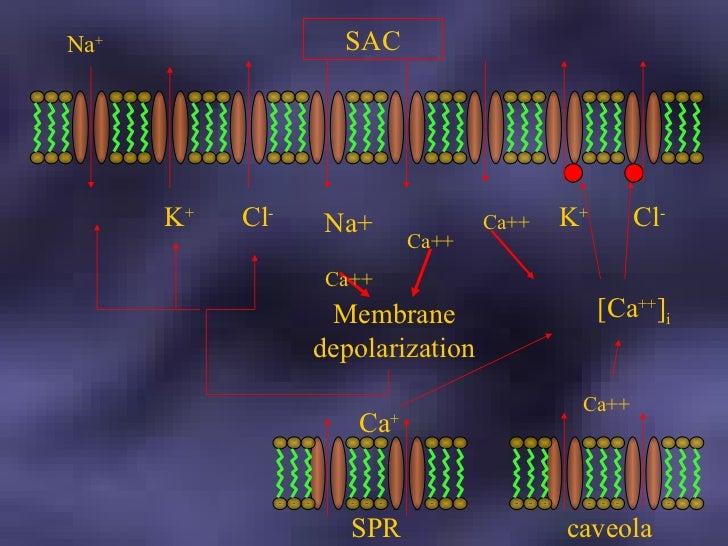 Na + K + Cl - Membrane depolarization Na+ Ca++ Ca++ SAC SPR Ca + Ca++ caveola Ca++ K + Cl - [Ca ++ ] i
