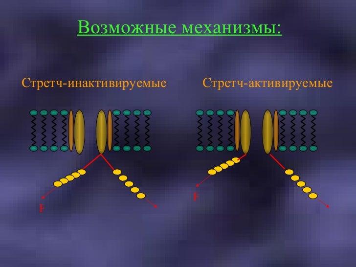 Стретч-инактивируемые Стретч-активируемые Возможные механизмы: F F F F