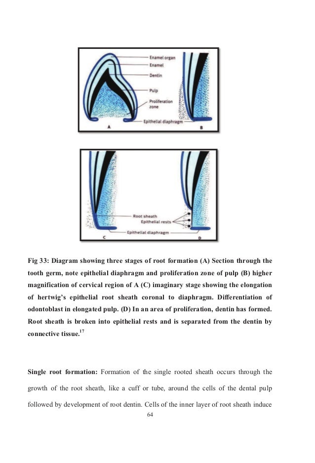 a description of odontogenesis Outline the events that occur during the development of the teeth and associated  structures and during tooth eruption, describing each step of formation.