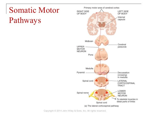 somatic motor pathways