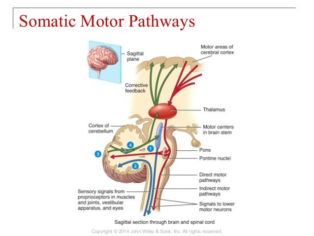 sensory motor and integrative systems General sensations in this chapter we explore the levels and components of  pathways that convey sensory nerve impulses from the body to the brain, and the .