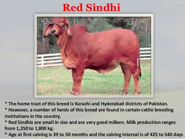 Cow breeds of India