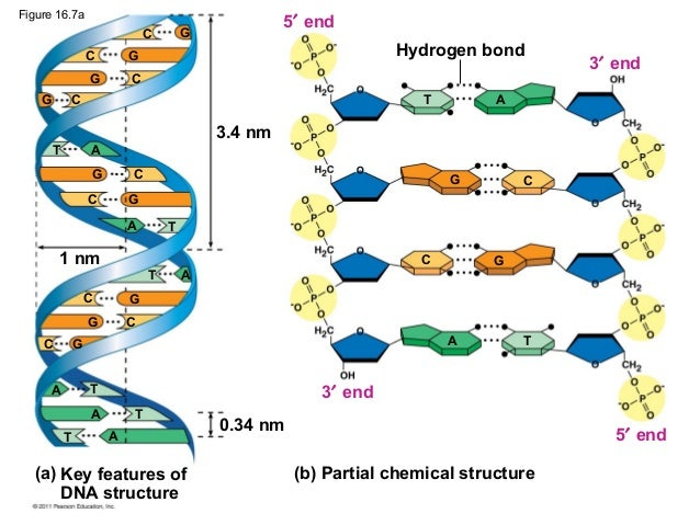 Ch 16  The Molecular Basis Of Inheritance