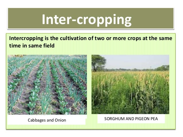 Intercropping system