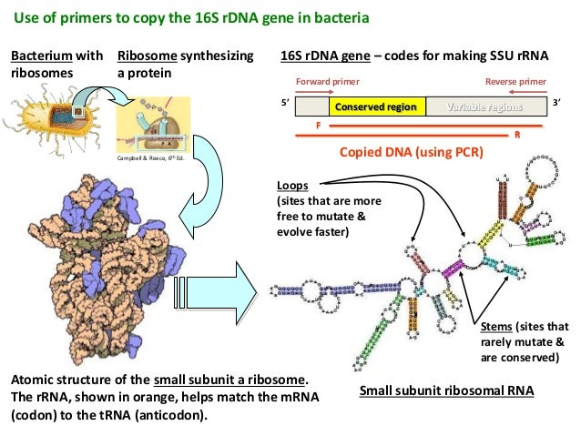 16s ribosomal dna sequence analysis 13 638?cb=1417313002 16s ribosomal dna sequence analysis