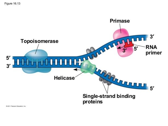 16 the molecular basis of inheritance for Explain how dna serves as its own template during replication