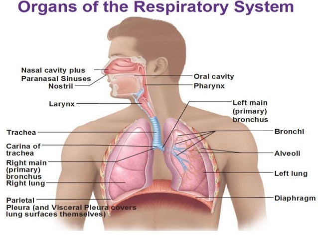 breathing and exchange of gases The primary function of the respiratory system is to exchange oxygen and carbon dioxide breathing in and out is accomplished by respiratory muscles.