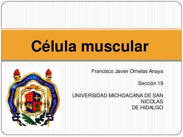 17. celula muscular