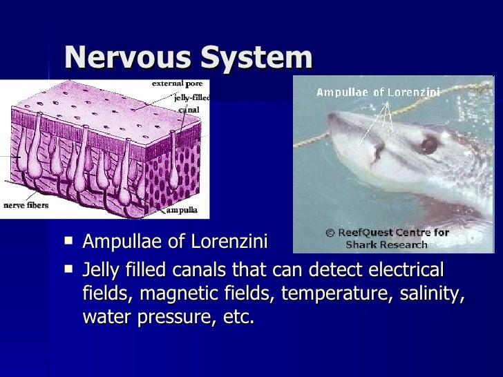 dogfish nervous system