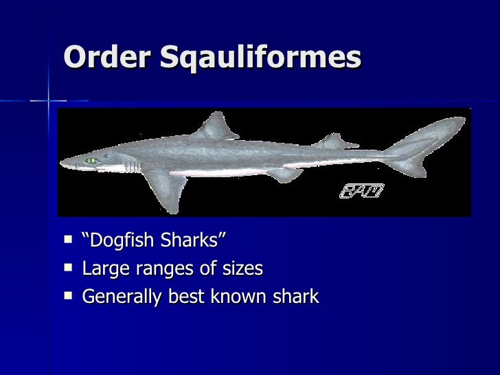 class chondrichthyes notes order sqauliformes