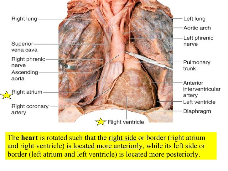 Topic 06 Human Physiology additionally What Is Moxa in addition Heart Rate Endocrine System further Chapter Transport Biology 2014 as well Superficial Thoracic Vein   d Circulatory 20system venous   20V. on circulatory system veins