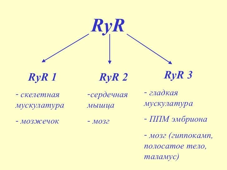 Строение и функции рианодиновых рецепторов Slide 3