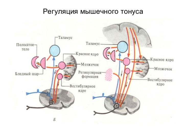 Регуляция мышечного тонуса