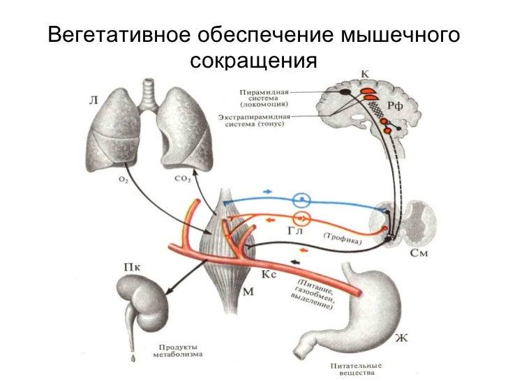 Вегетативное обеспечение мышечного сокращения