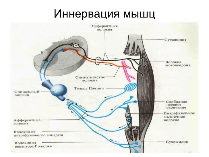 Иннервация мышц