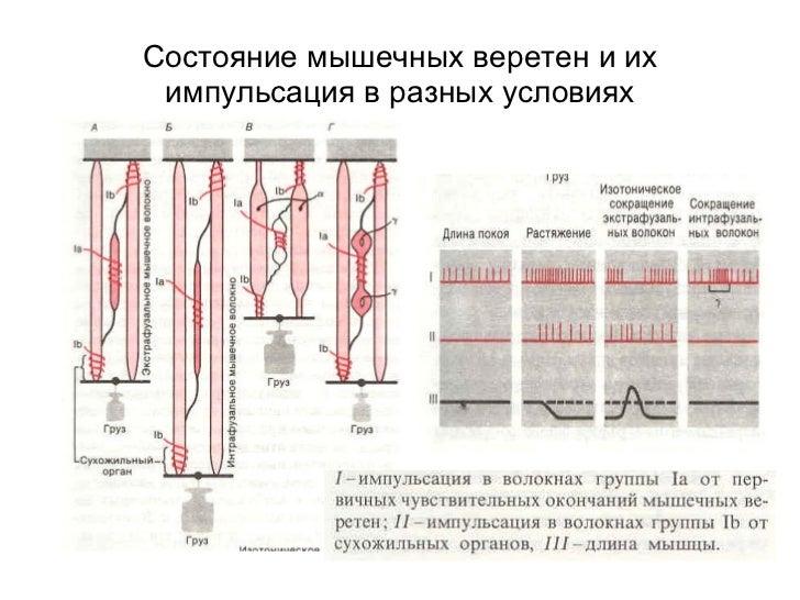 Состояние мышечных веретен и их импульсация в разных условиях