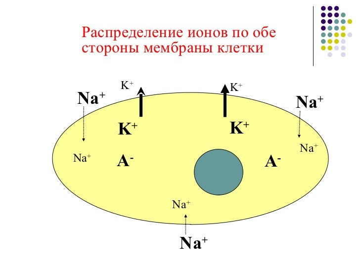 Распределение ионов по обе стороны мембраны клетки Na + Na + Na + K + K + A - A - Na + Na + K + K + Na +