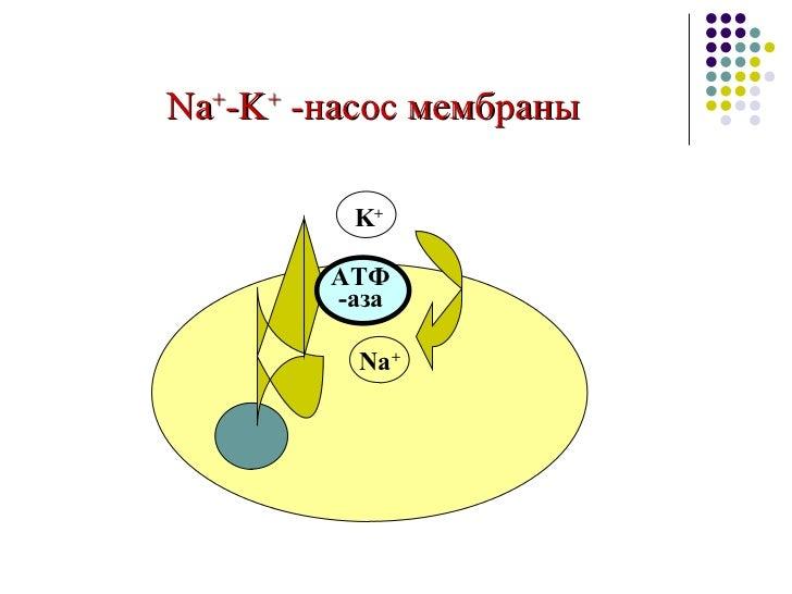 Na + -K +  - насос мембраны Na + K + АТФ  -аза