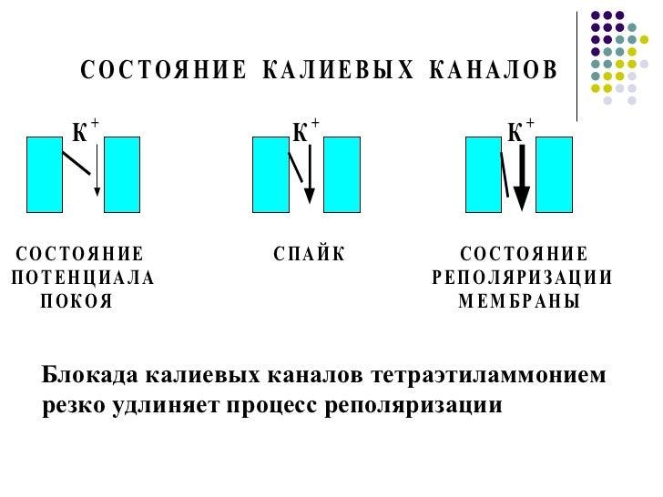 Блокада калиевых каналов тетраэтиламмонием резко удлиняет процесс реполяризации