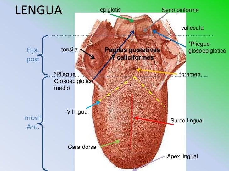lengua pliegue