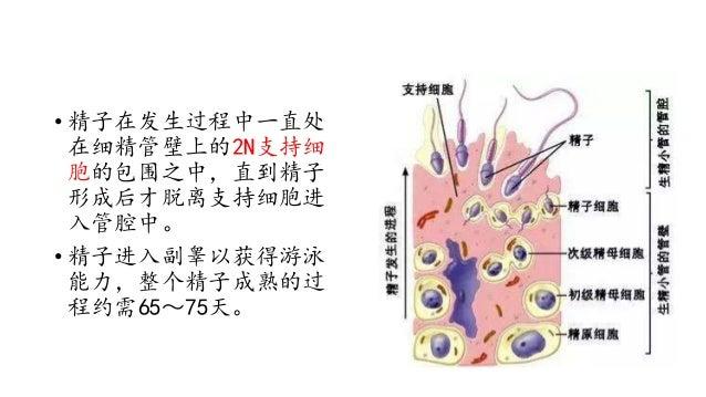 精子 形成